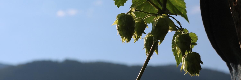 Culture du houblon : comment le faire fructifier sur son jardin ou son balcon ?